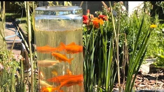 In einer Glassäule im Gartenteich schwimmen mehrere Fische übereinander.