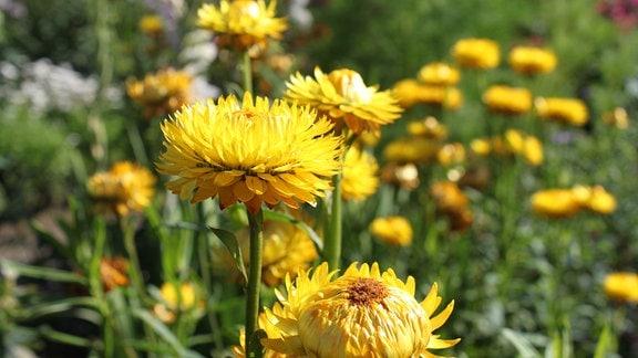 gelbe Trockenblume