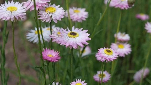 rosarote Blüten einer Trockenblume