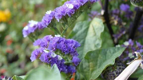 lila Blüten des Strandflieders