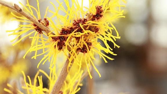 Hamamelis - Zaubernuss- rote, fransige, Blüten