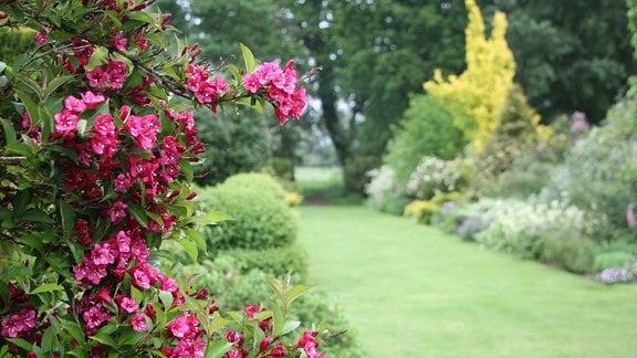 Ein Strauch mit pinkfarbenen Blüten vor einem Garten mit englischem Rasen und Stauden-Rabatten