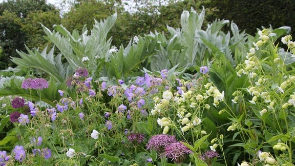 Lila und weiß blühende Pflanzen sowie Blattschmuck-Stauden in einem Beet