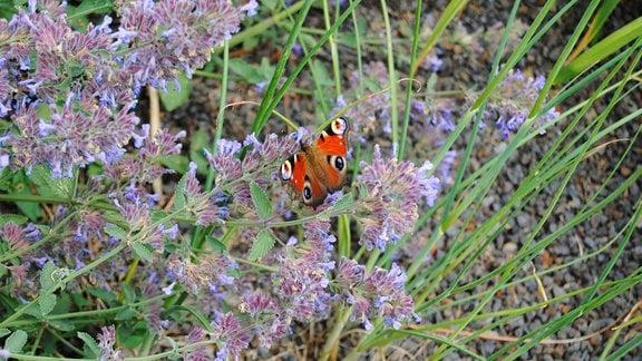 Ein Schmetterling der Art Tagpfauenauge sitzt an den kleinen, lila-blauen Blüten einer Katzenminze im Egapark in Erfurt