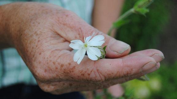 Eine Hand hält die weiße Blüte einer Lichtnelke mit dem Namen Silene album