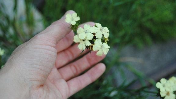 Eine Hand hält die hellgelbe Blüte einer Balkannelke, auch Schwefelnelke genannt