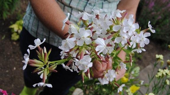 Eine Frau hält mehrere Triebe vom Seifenkraut mit weißen Blüten