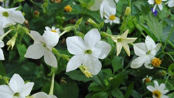 Weiße, sternfömige Blüten an einer Ziertabak-Pflanze