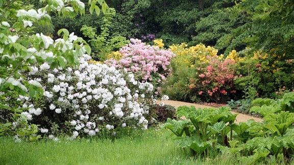 Rhododendren mit verschiedenen Blütenfarben stehen am Rand einer Wiese neben einem Parkweg in Savill Garden in Windsor.