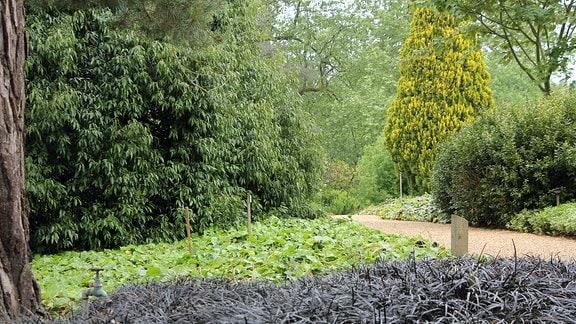 Fast schwarzes Ophiopgon 'Black dragon' wächs in Savill Garden in Windsor vor anderen hell- und dunkelgrünen Pflanzen.