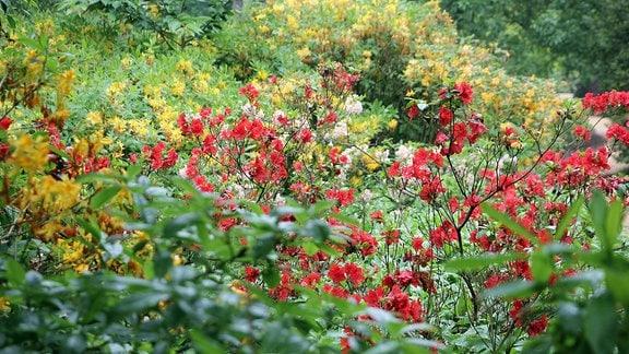 Rhododendren mit gelber, roter und rosa Blüte in Savill garden in Windsor.