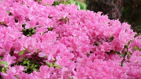 Rhododendron 'Marion Street' mit rosa Blüte in Savill Garden in Windsor.