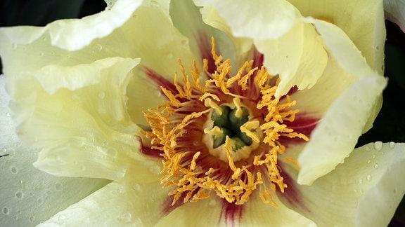 Cremefarbene Blüte einer Pfingstrose.