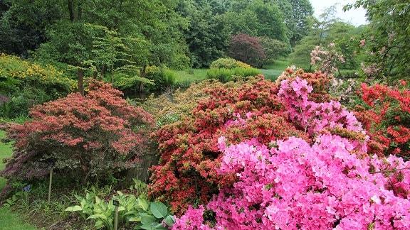 Rhododendren mit roter und rosa Blüte in Savill Garden in Windsor.
