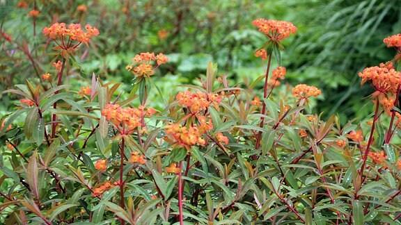 Euphorbia griffithii 'Dixter' mit zarter roter Blüte in Savill Garden in Windsor.