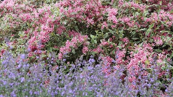 Weigelie mit vielen rosa Blüten hinter einer Trauben-Katzenminze in Savill Garden in Windsor.