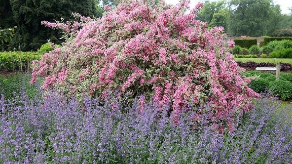 Trauben-Katzenminze mit lila Blüten vor Weigelie in Savill Garden in Windsor.