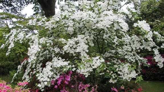 Cornus 'Celestial' mit weißen Blüten in Savill Garden in Windsor.