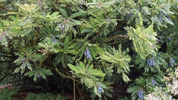 Lomariablättrige Mahonie mit blauen Früchten in Savill Garden in Windsor.