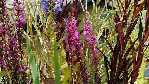 Pink blühender Blutweiderich und andere Ufer- und Sumpfpflanzen