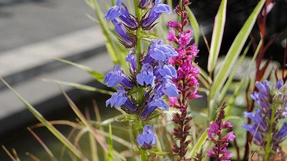 Lobelie mit blauen Blüten für Mini-Teiche