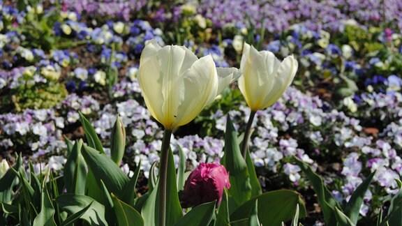 Blumenbeet mit Tulpen, Stiefmütterchen, Hornveilchen und anderen Frühblühern