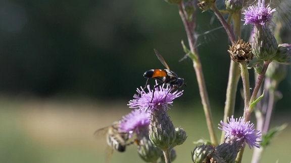Insekten an Disteln im Garten von Ornithologe Peter Berthold