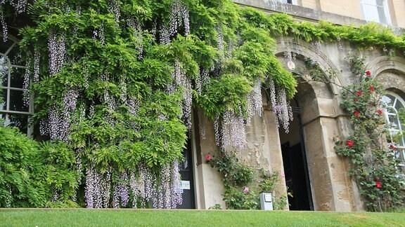 Ein altes Gebäude mit viel Blauregen im Worcester Collage in Oxford.