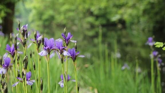Blaue Irisblüten im Worcester Collage Garden in Oxford.