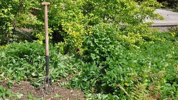 Eine Grabegabel wurde in ein Beet auf dem ganz viel Giersch wächst gesteckt.