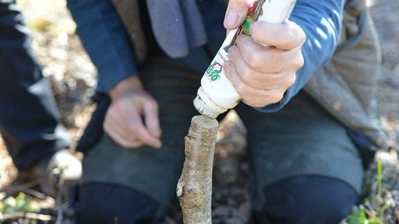 Wundpaste wird auf Schnittfläche eines Baumes aufgetragen