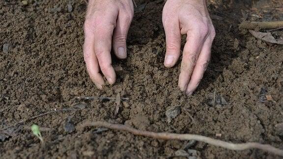 Einen Trieb der auf dem Boden liegt, wird mit Erde bedeckt