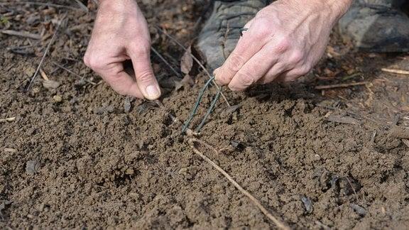 Ein Ableger wird mit einem Draht im Boden befestigt