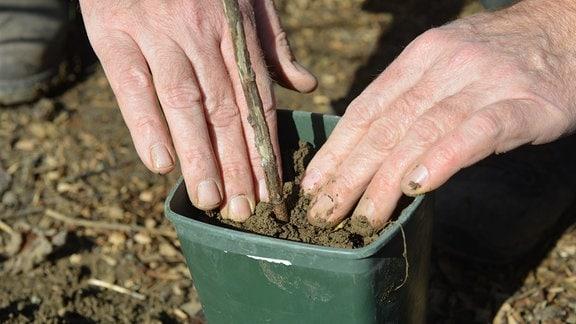 Ein Steckholz wird in einen Topf gepflanzt