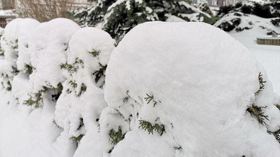 eingeschneite Hecke eines Vorgartens