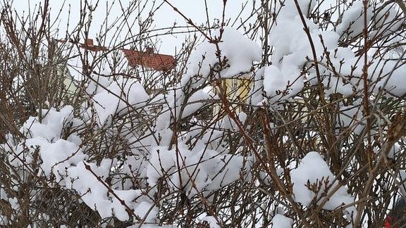 Kahle Forsythien-Hecke mit Schnee