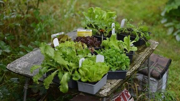 Verschiedene Salatpflanzen auf einem Tisch