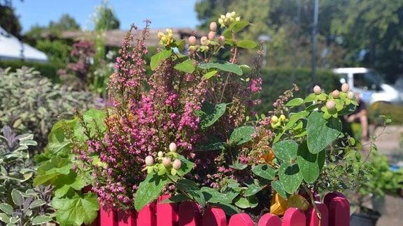 Verschiedene Pflanzen wachsen in einem Blumentopf . Der Blumentopf ist rosa und sieht aus wie ein kleiner Gartenzaun. In dem Topf stehen Heuchera, Salbei, Erika Johanneskraut und Muehlenbeckia