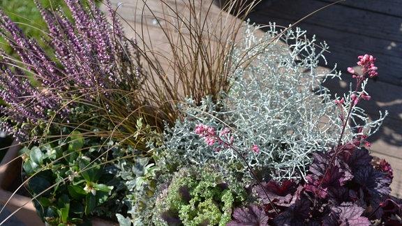 Blumenkasten mit verschiedenen Pflanzen: Heide, Scheinbeere, Gras, Bronze Segge, Stacheldrahtpflanze, Zierkohl, Efeu, Heuchera