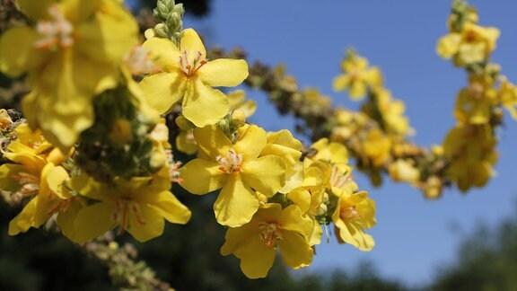 Gelbe Blüte der Königskerze
