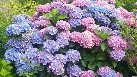 Blau und rosa Blütenbälle an einer Bauernhortensie