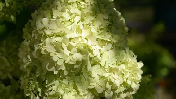 Limettenfarbigen Blüte einer Rispenhortensie.