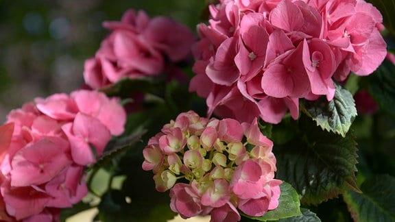 Kräftig rosa blühender Blütenball einer Bauernhortensie.