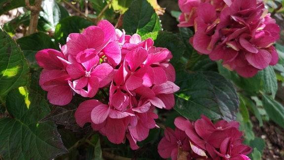 Pink blühende Bauernhortensie