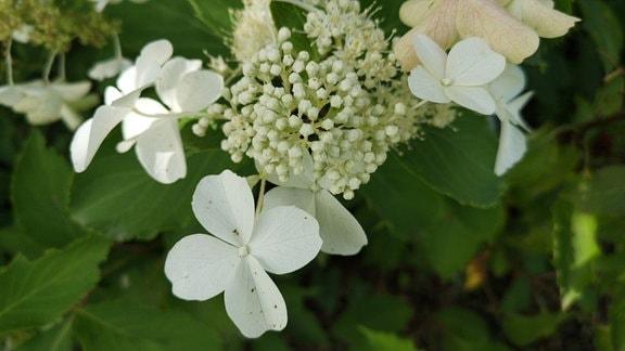 weiße Blüte einer strauchhortensie mit großen Scheinblättern
