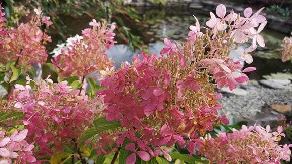 rosa verfärbte Hochblätter einer Strauchhortensie