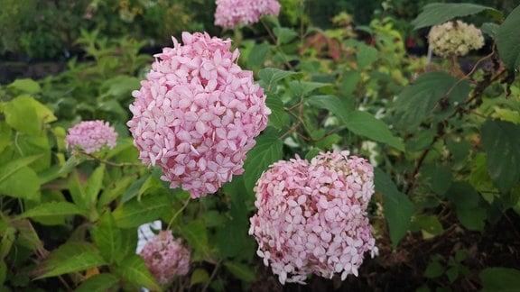 Rosarote Blütenbälle einer Schneeballhortensie