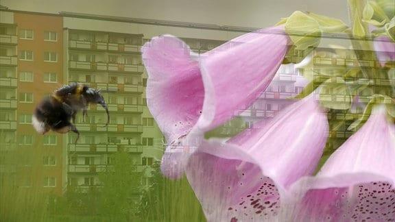 Collage: Hummel fliegt vor einer Plattenbausiedlung auf eine Blüte zu.