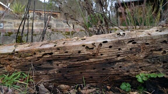 Altes Holz mit vielen Löchern für Insekten