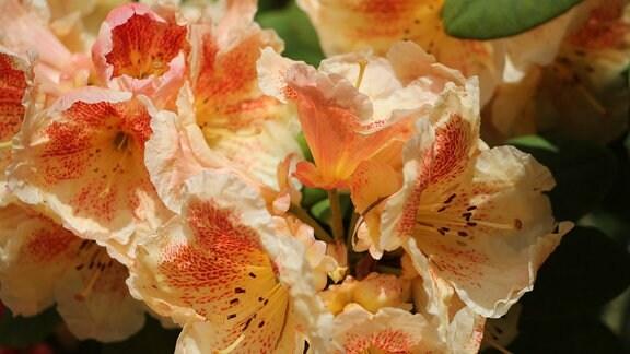 Orangefarbene Blüten eines Rhododendron